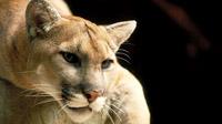 cougar-200
